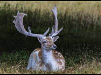 3rd Group 2 'Fallow Deer Resting' by Jolanta Bujalska-Axon