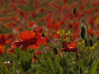Poppies & Buds