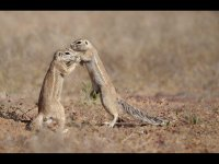 3rd Group 3 'Ground Squirrel Dominance Display' by Sue Pearmain