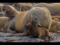 Protective Mother Walrus