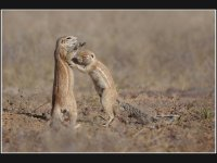 Ground Squirrels Grooming