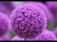 Awesome Alliums