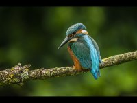 2nd Group 2 'Kingfisher on Perch' by Martin Thompson