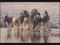 Startled Common Zebra At Waterhole